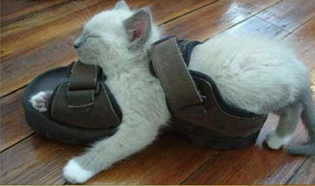 Cat sleeping in shoe