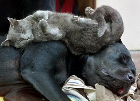 Cat sleeping on top of a dog