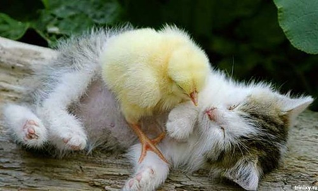 Cat sleeping with baby chick