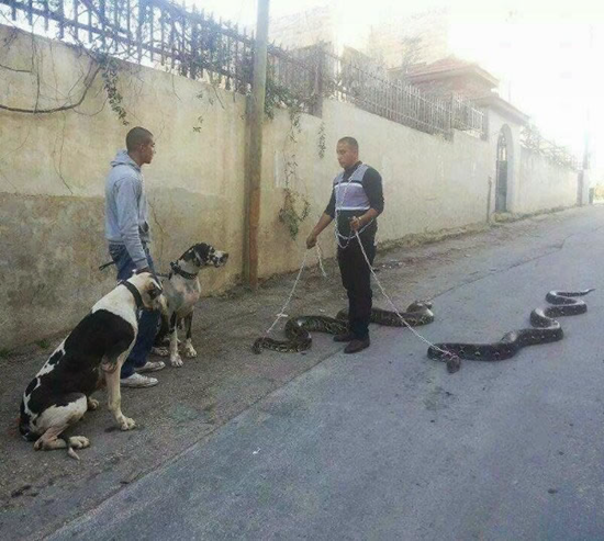 Man walking two snakes on leashes