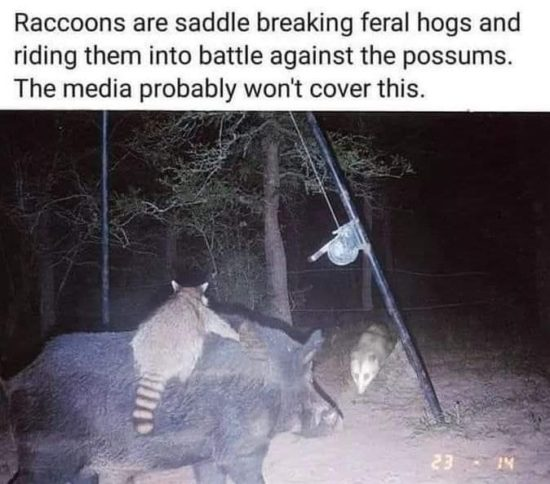 Raccoons riding feral hogs in battle against possums